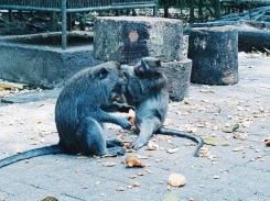 Epouillage - Sacred Monkey Forest Sanctuary - The Chris's Adventures