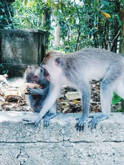 laisse moi manger - Sacred Monkey Forest Sanctuary - The Chris's Adventures