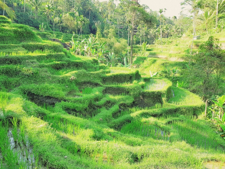 Les cultures en terrasses - Rizieres de Tegalalang - The Chris's Adventures