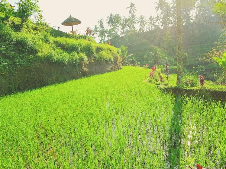 Perdu au milieu des rizieres de Tegalalang - The Chris's Adventures